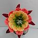 Apricot Glow Flowering Cactus pattern