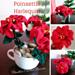 Poinsettia Harlequin pattern
