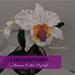 Laeliocattleya Orchid pattern