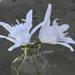 Sand Lily Daffodil pattern