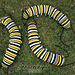 Monarch Butterfly Caterpillar pattern
