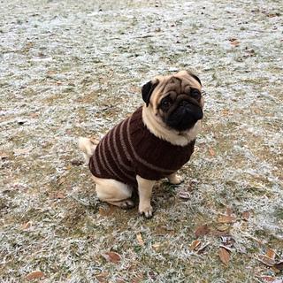 Ravelry Pug Dog Sweater pattern by Angelcatkins (Elizabeth