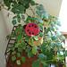 Susan the Ladybug Coaster pattern