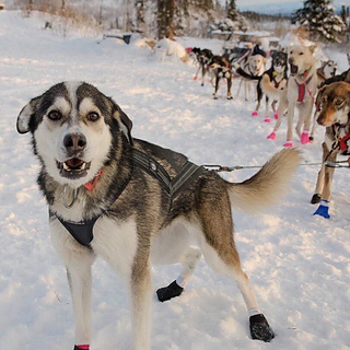 Ravelry Pepe The Sled Dog Square Pattern By Beth Western