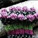 Bommelbündchen / Socks with pompoms pattern