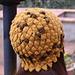 Crisantemo pattern