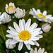 Shasta Daisy Flower pattern
