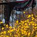 Dandelion Stitch Sampler Shawl pattern