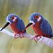 Kingfisher pattern