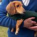 Lena's Miniature Dachshund Dog Sweater pattern