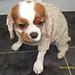 four legged dog coat pattern