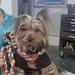 Dog in da Hoodie (cred. Kristen Roach's Hoodie) pattern